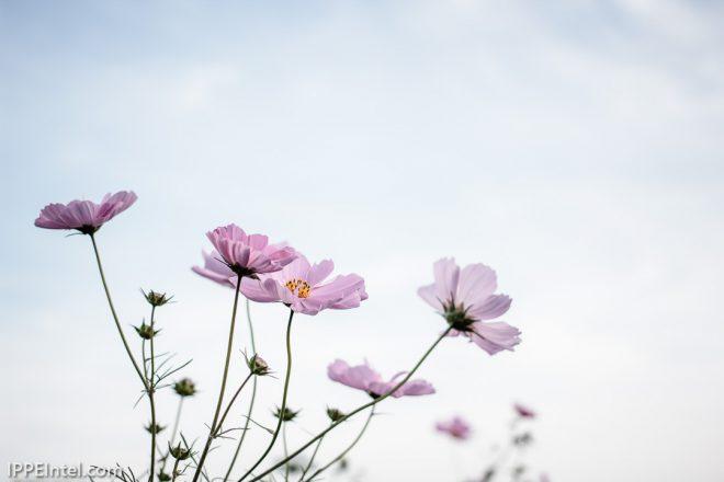 秋桜、すこし切なく。